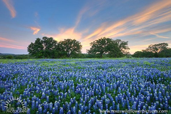 Texas-Wildflowers-Bluebonnets-Sunset-spring2012_26.jpg